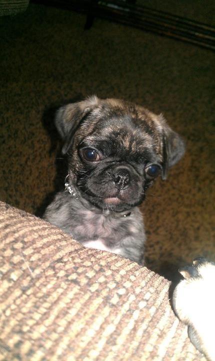 Brindle Pug Related Keywords & Suggestions - Brindle Pug Long Tail ...