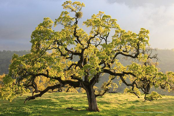 California Oak Trees Pinterest