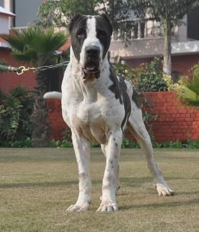 Bully Kutta or Pakistani, Sindhi, Alangu Mastiff | Man's Best Friend ...