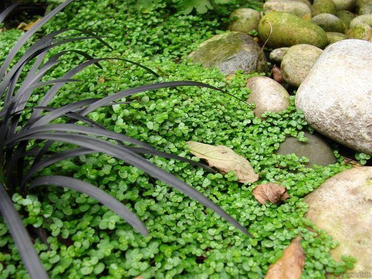 Slaapkamergeluk Plant : Slaapkamergeluk Garden plants Pinterest