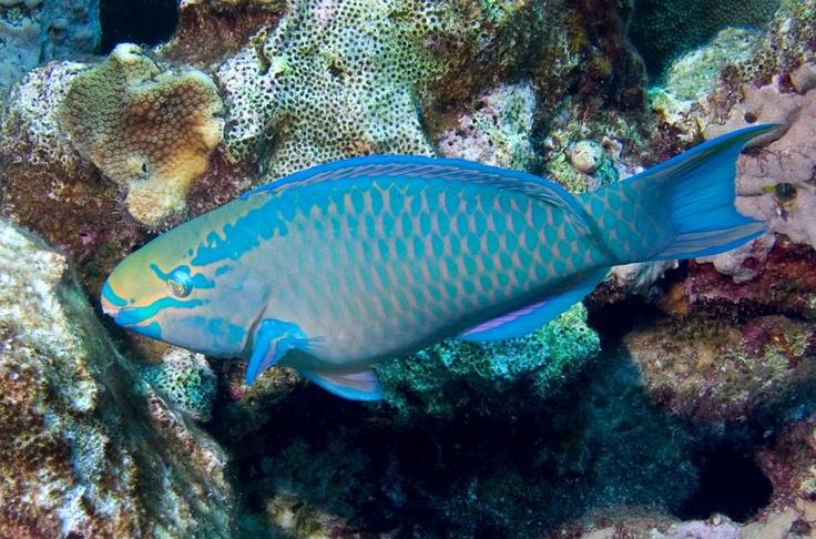 Queen Parrotfish. | Fish | Pinterest