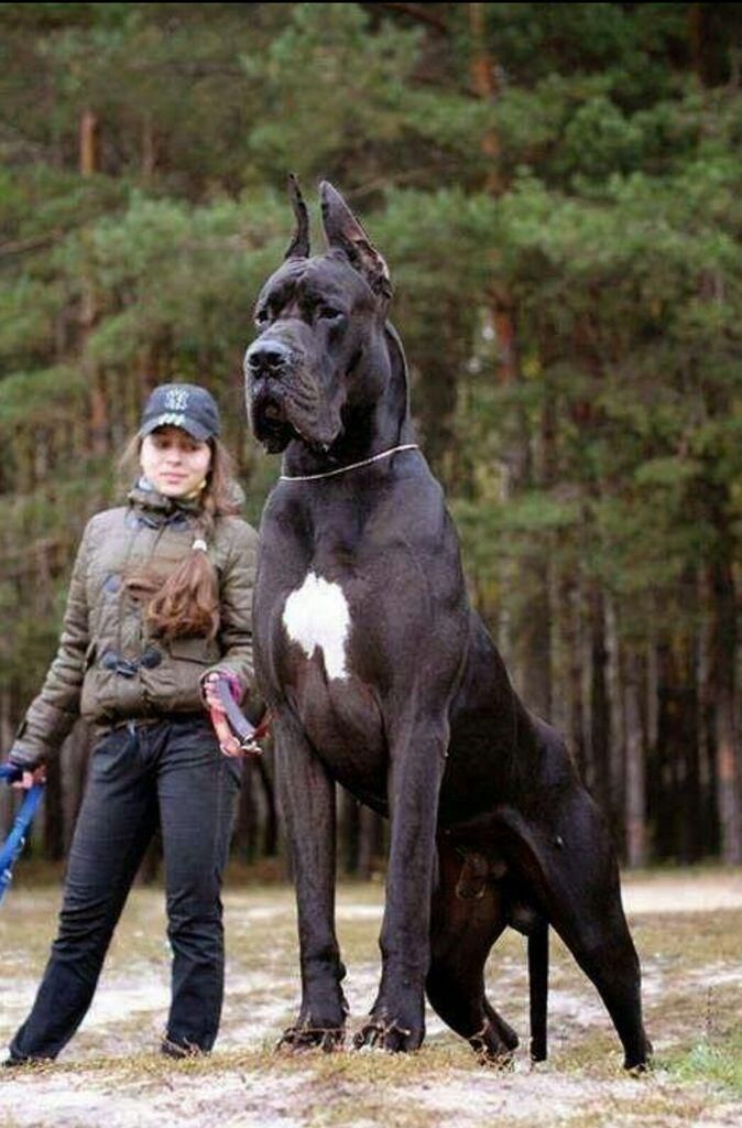 Biggest Dogs You have Ever Seen