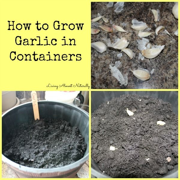 how to grow garlic in containers garden ideas pinterest. Black Bedroom Furniture Sets. Home Design Ideas