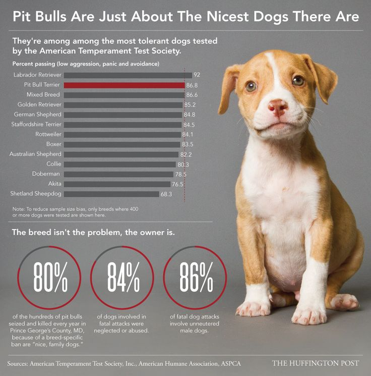informative pit bulls There is a misunderstanding regarding the pit bull breed, as most of them have pedigrees as either american staffordshire terriers, american pit bull terriers, staffordshire bull terriers, or american bullies no matter their registry, the pit bull is well-known for all dog lovers because of their loving, yet maligned reputation.