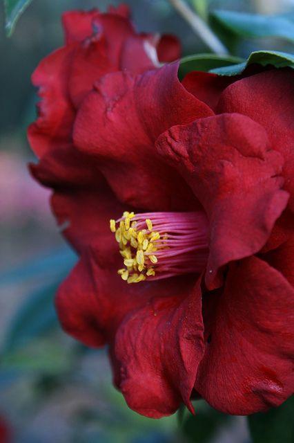Camellia japonica 'Royal Velvet' (US 1983)