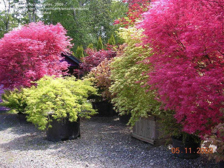 Shin Deshojo Japanese Maple Secret Garden Pinterest