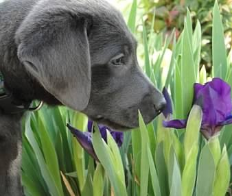 Silver Belle's Labs - Silver Lab - love this dog!