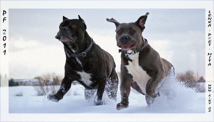 running in the snow   #Cane #Corso