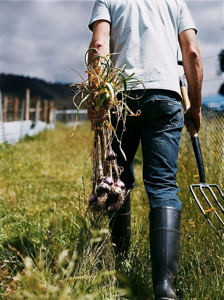 Farmer gathering onions....