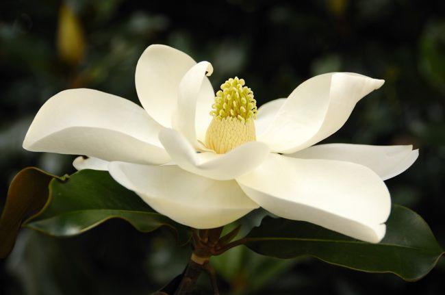 magnolia flag