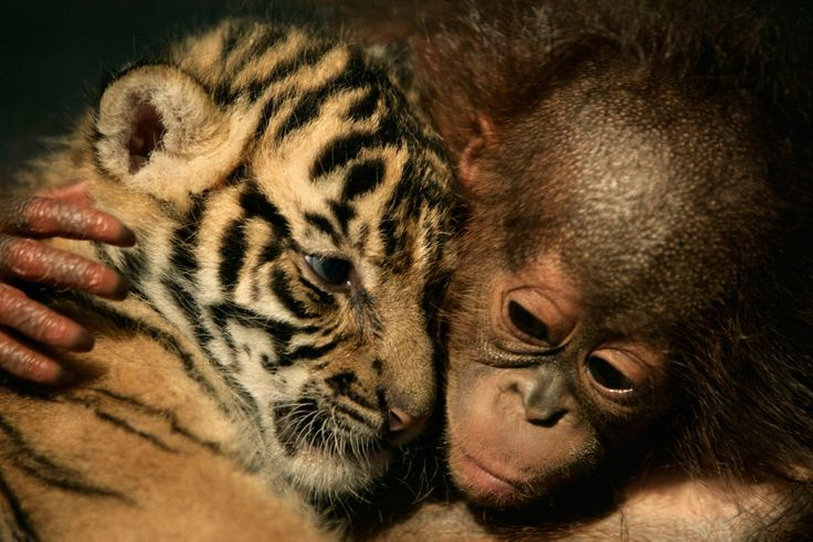 Sumatran baby  tiger a...