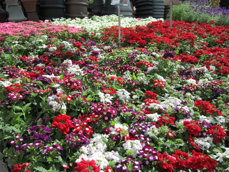 Pin By Nick 39 S Garden Center And Farm Market On Colorful Annuals Pin