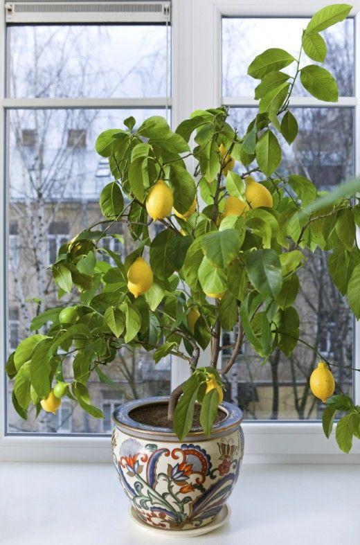 Лимон - выращивание и уход в домашних условиях, как