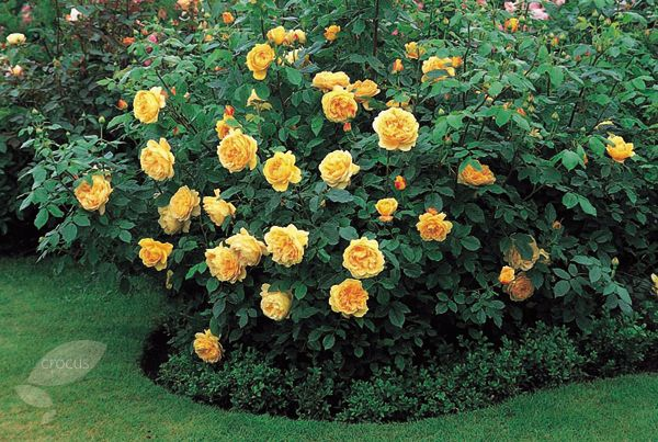 rose golden celebration shrub dreaming my garden. Black Bedroom Furniture Sets. Home Design Ideas