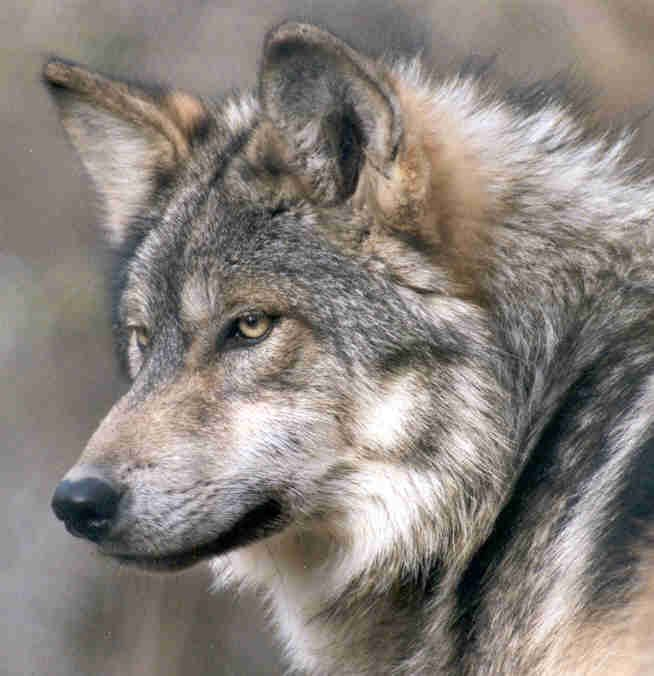 Mexican grey wolf - photo#5