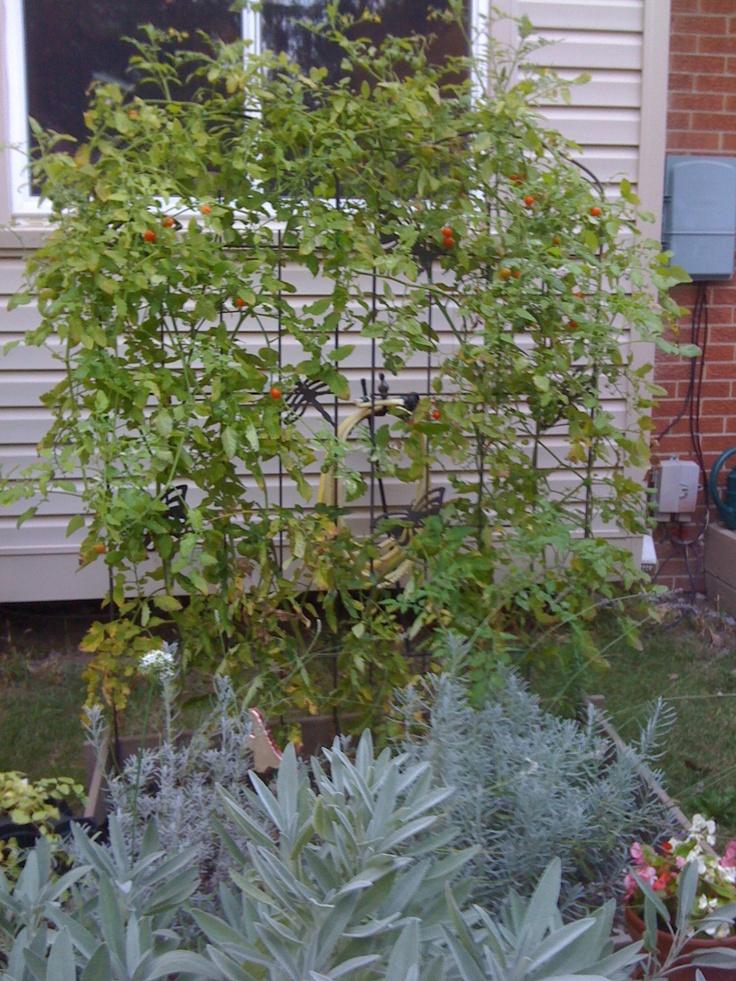 Cherry Tomatoes Climbing The Trellis From My Garden 400 x 300