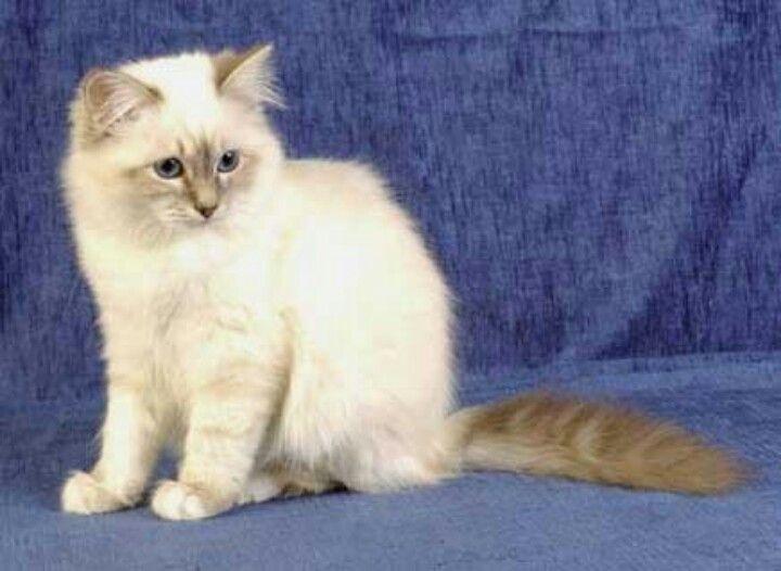 Cat that looks like a lynx