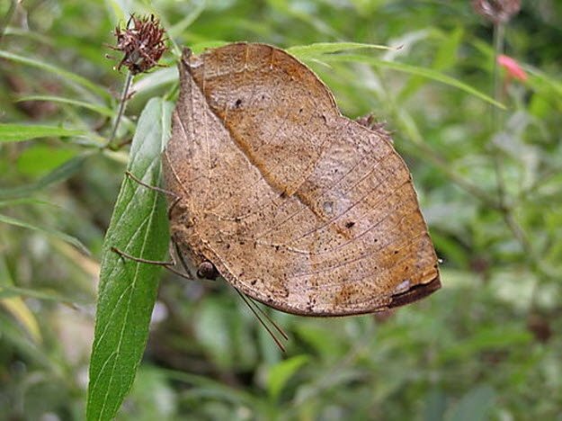 Dead leaf butterfly insects pinterest