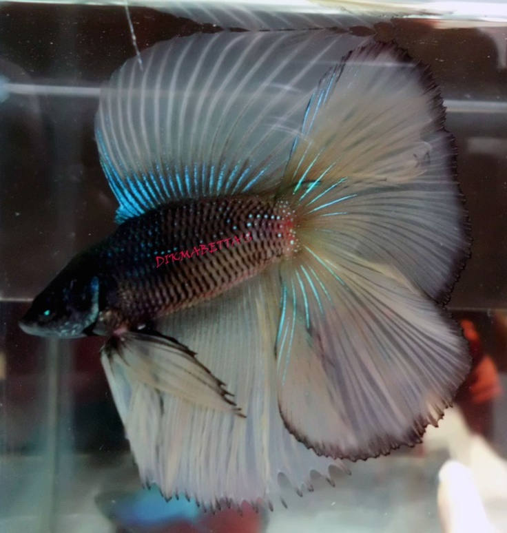 Black, White, Electric Blue DT Betta | Betta Fish Love ...