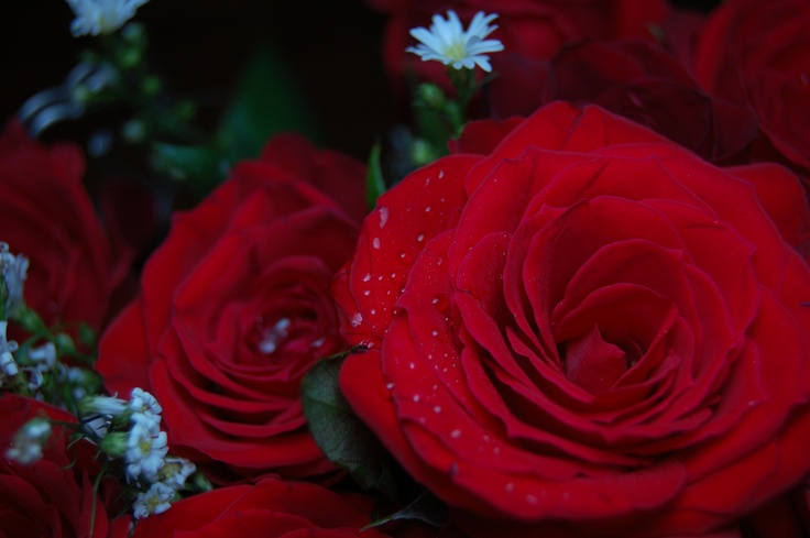 Moist red roses cool stuff pinterest for Cool things to do with roses