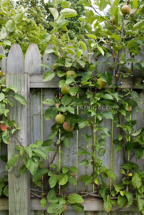backyard fruit growing in small spaces on wooden fence apples
