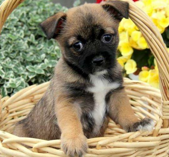 Pug and Japanese Chin | PUG MIXED BREEDS | Pinterest