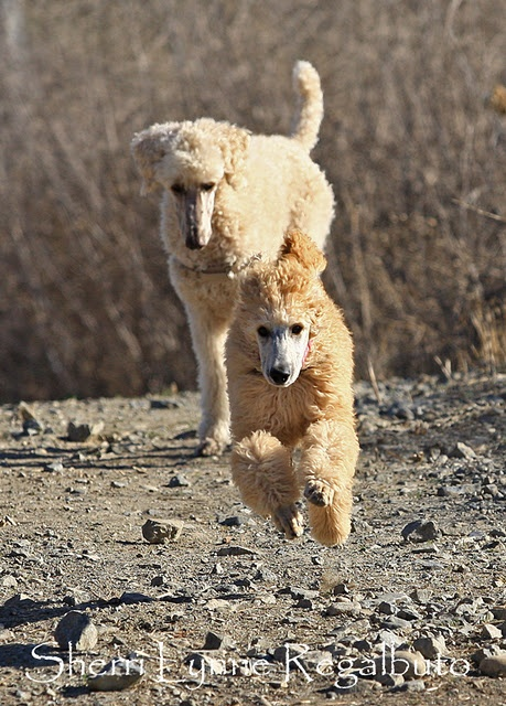 LOVE Poodles and Poodle puppies.  BEST pet photographer that I know - Sherri Regalbuto of CA.