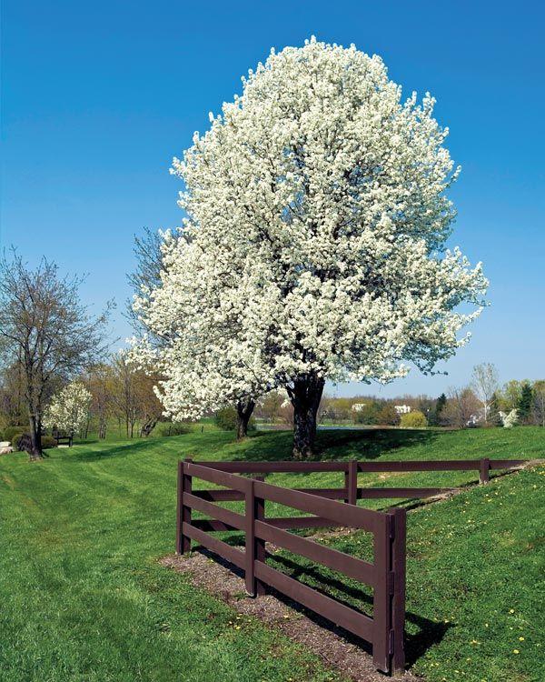 Bradford Pear Tree In Full Bloom Trees Glorious