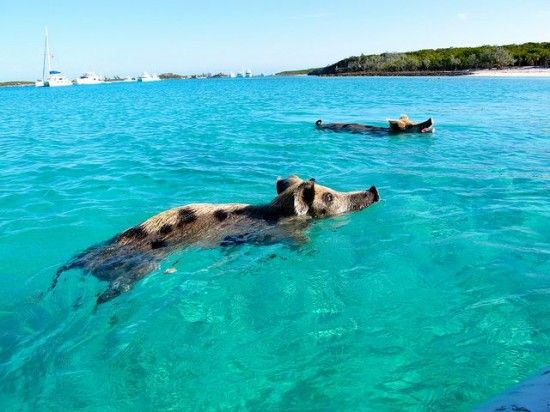 An uninhabited island in the bahamas populated by friendly wild pigs ...