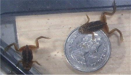 reabsorbed. Flippersandfins.net African Dwarf Frog Breeding article