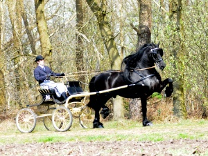 Friesian pulling cart