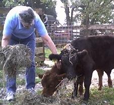 Gladhour Farm Dexter Cattle