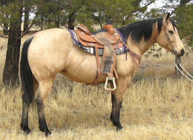 Buckskin quarter horse stallion - photo#15