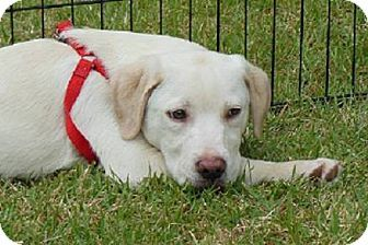 Catahoula Leopard Dog/Labrador Retriever Mix. And his name is Finn :)