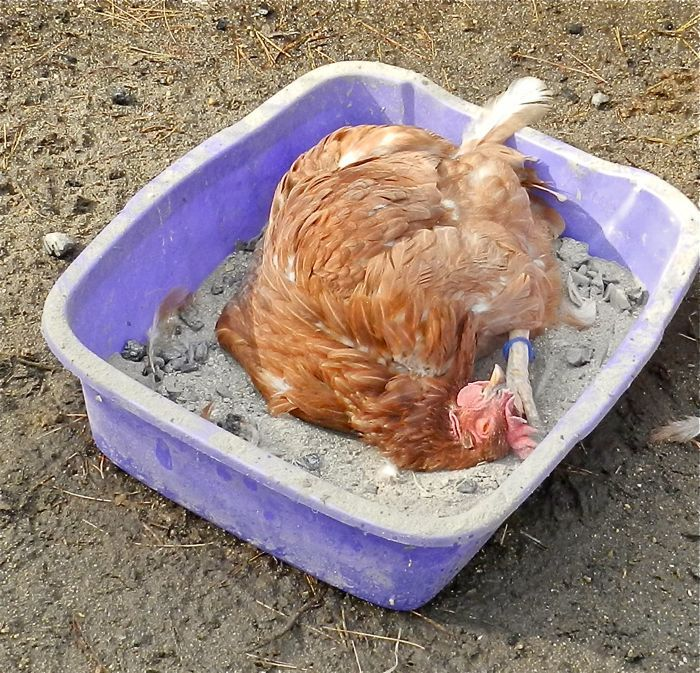 chicken dust baths ultimate