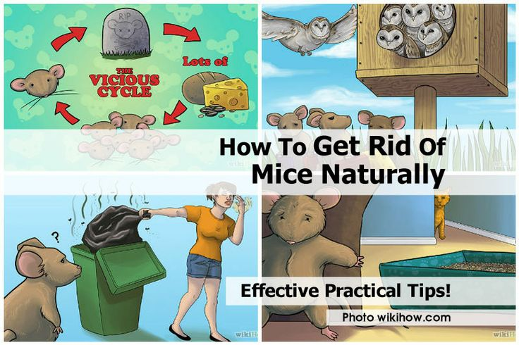 To get rid of mice naturally http www hometipsworld com how to get