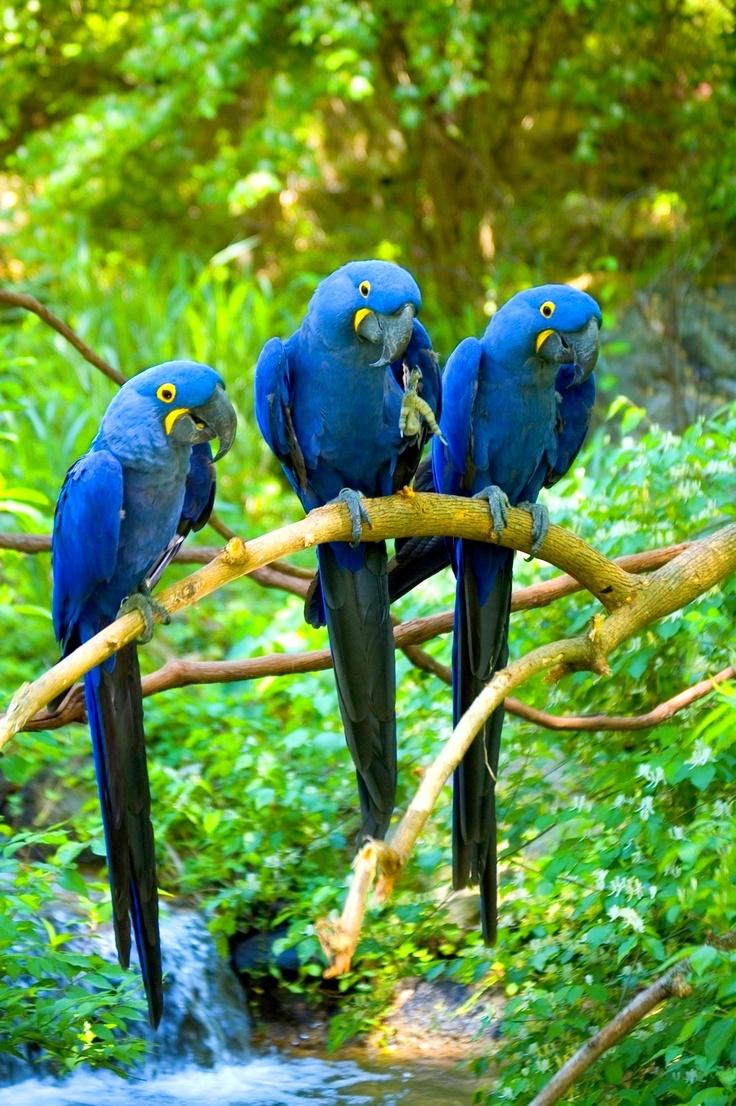 Hyacinth Macaws | blue birds | - 365.8KB