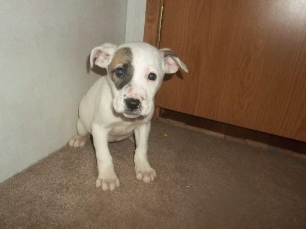 ... Boxer puppy!? http://columbus.craigslist.org/pet/3516229177.html