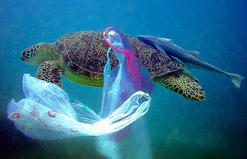 Green sea turtle and plastic