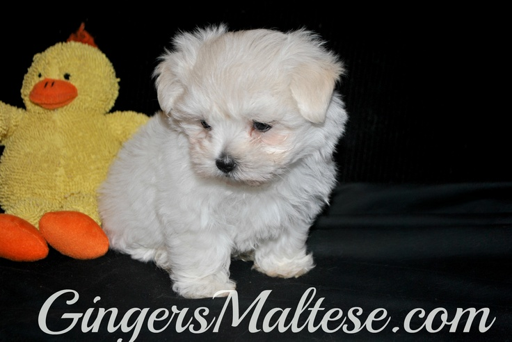 Maltese Puppies For Sale In Nc | Dog Breeds Picture