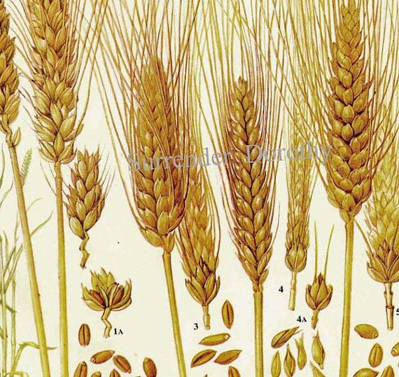 Wheat Cereal Grain Food Chart Botanical Lithograph Illustration For    Wheat Botanical Illustration
