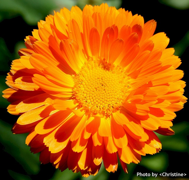 calendula officinalis beautiful flowers 3 pinterest. Black Bedroom Furniture Sets. Home Design Ideas