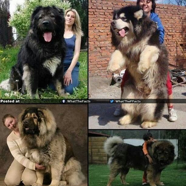 Giant Russian Dog For Sale