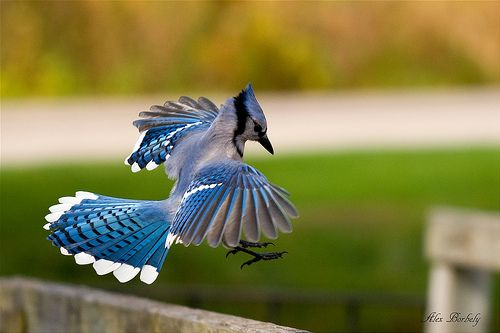the gallery for gt blue jay landing