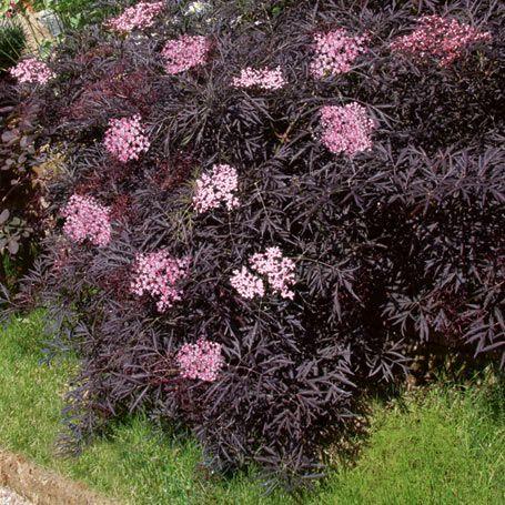 sambucus nigra black lace garden pinterest. Black Bedroom Furniture Sets. Home Design Ideas