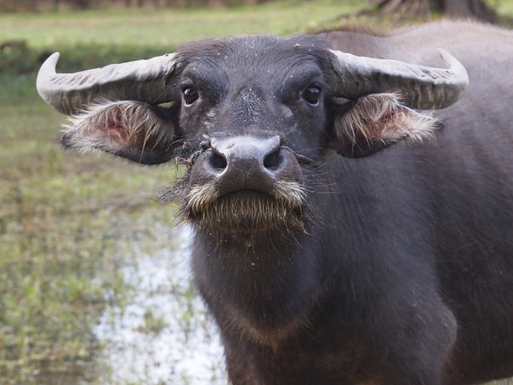 Water buffalo, Cambodia | Favorite photos of places I've been | Pinte ...