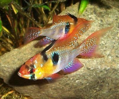 German blue ram cichlids cichlids pinterest for German ram fish