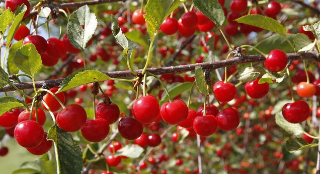 Tart cherries are ready for harvest at McMullin Orchard in Payson ...