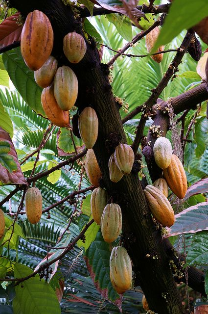 theobroma cacao the tree chocolate is made from But make way for cocoa's latin cousin, cupuaçu theobroma – to which cacao belongs there's also tree-to-bar chocolate.