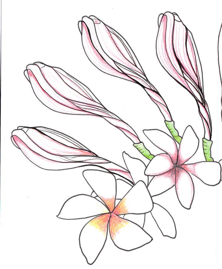 Columbine Flower Line Drawing : Line drawing flowers plumeria blooms printables